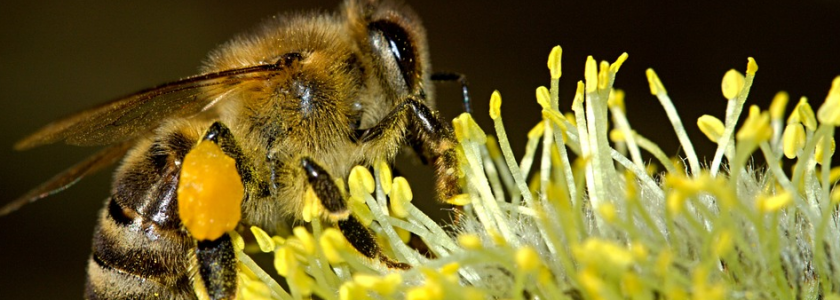Abeille qui pollinise